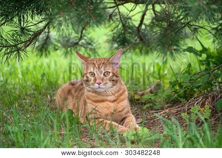 Red Young Cat Lying On The Green Grass Under The Pine