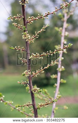 The Trunk Of A Young Plum Tree With Buds Of Flowers