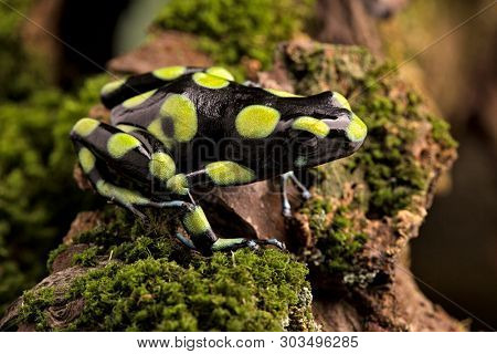 Poison dart frog, dendrobates auratus from the tropical rain forests of Panama