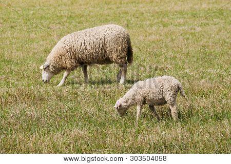 Lamb And Sheep Walking And Grazing In Pastureland.