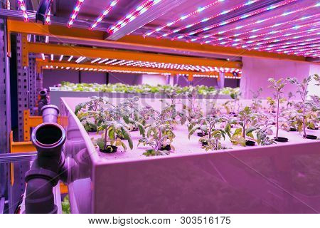 Tomato young plants grow in aquaponics system combining fish aquaculture with hydroponics, cultivating plants in water under artificial lighting poster