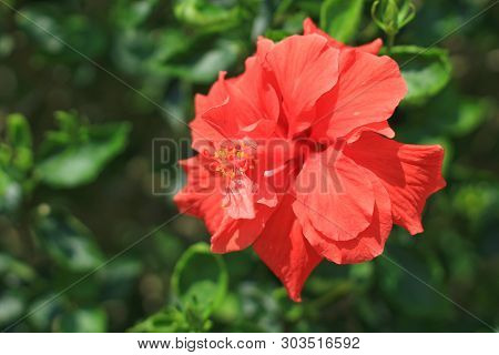 A Tropical Red Hibiscus Flower Isolated Nature