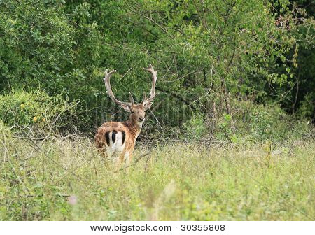 Wild life in Europe - Fallow Deer (Dama dama) buck poster