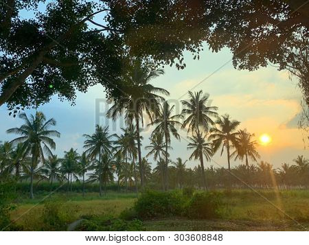 Coconut palm trees at sunset in India