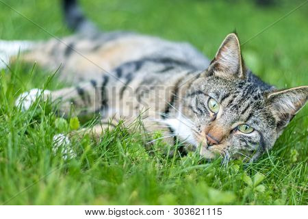 Young Green-eyed Mackerel Tabby Cat Frolicks In The Grass On A Late Spring Afternoon