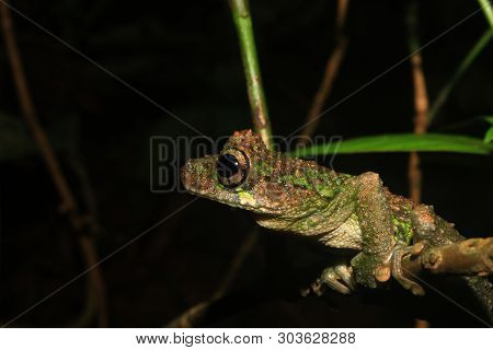 A Sideview Of A Brown And Green Tree Frog Of The Genus Osteocephalus, On A Small Branch