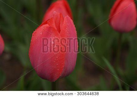 Red Tulips Dew On Purple Background. Garden Background. Floral Background. Nature Background. Spring