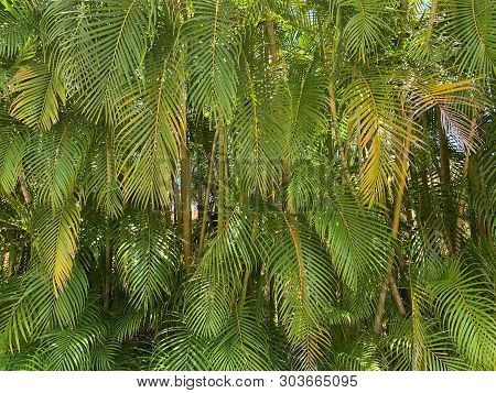 Tropical Palm Leaves Background With Different Shades Of Green.