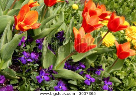 Pansies, Tulips And Marigolds
