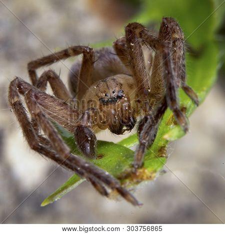 Olios Argelasius, Sparassidae Family Male Spider Posing