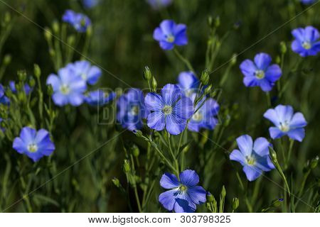 Flax Blossoms. Green Flax Field In Summer. Sunny Day. Agriculture, Flax Cultivation. Selective Focus