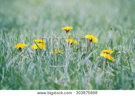 Yellow Dandelions In The Grass Close Up