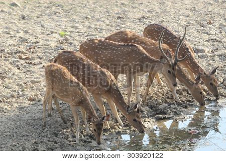 The Chital Or Cheetal (axis Axis), Also Known As Spotted Deer Or Axis Deer, Is A Species Of Deer Tha