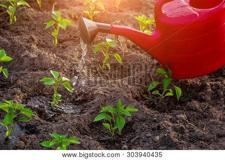 Natural Farming, Watering Young Peppers With Water From A Watering Can