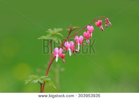 Bleeding heart flowers in the garden