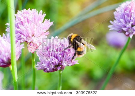 Bee Collecting Pollen From Plants And Flowers. Bumble Bee Or Honey Bee In A Natural Garden Habitat
