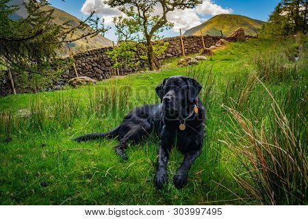 Black Dog Labrador Retriever Is Resting On The Green Grass In A Beautiful Valley In Lake District Mo
