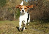 Happy Beagle dog running in autumn park poster