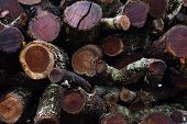 Stack of sawn logs. Woodpile of freshly harvested pine logs on a forest. Trunks of trees cut and stacked. Wooden mossy log under the rain. poster