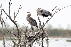 A Pair Of Great Blue Blue Herons Build A Nest.