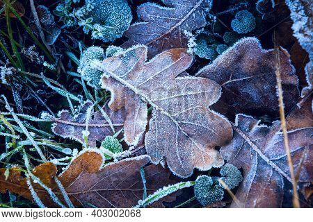 hoarfrost on dry autumn oak leafs