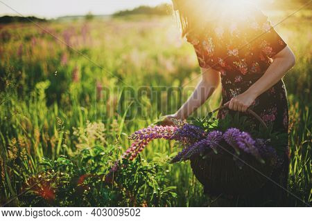 Woman Gathering Lupine In Wicker Rustic Basket In Field At Sunset Light. Tranquil  Moment