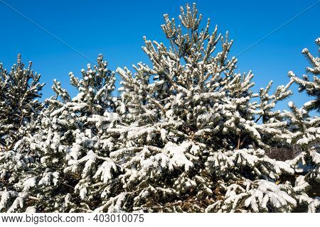 Beautiful Winter Snow Fir Forest After Snowfall Against The Blue Sky. Winter Background With Snow Fi