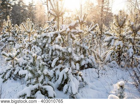 Beautiful Winter Snow Fir Forest After Snowfall At Sunset. Winter Background With Snow Fir Branches