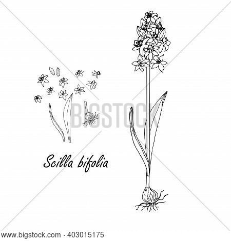 Monochrome Snowdrop Plant On White Nature Art Design Elements Stock Vector Illustration For Web, For