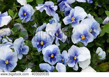 Viola Tricolor Pansies, Flower Bed. Violets Are Blue In Urban Landscaping And Landscape Design.