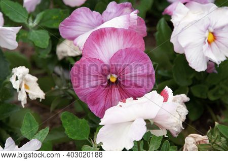Viola Tricolor, Pansies, Flower Bed. Violets Are Purple In Urban Landscaping And Landscape Design.