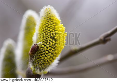 Delicate Yellow Flowers Of Willow In Spring. Seals Are One Of The Symbols Of Spring And Easter. A Wi