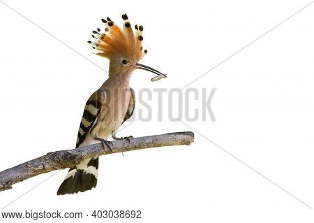 Eurasian Hoopoe Sitting On Branch Cut Out On Blank