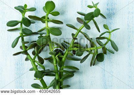 Crassula Potted Houseplant. Vivid Green Leaves Of Jade Plant Or Money Tree.