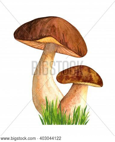 Watercolor Porcini Isolated On White Background In The Grass. Edible Mushroom Object. Autumn Season