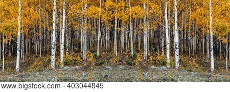 Panoramic Image Of The Beautiful Yellow Autumn Aspen Tree Leaves. Taken Near Silverton At The Millio