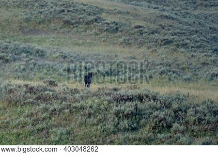 Black Wolf Trots Off Into Field In Hayden Valley In Yellowstone