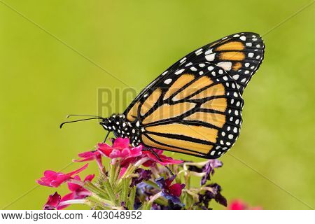 Beautiful Monarch butterfly on top of pink Verbena flowers with sunny green summer background