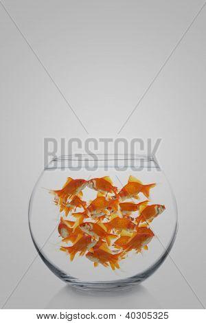 Lots of Goldfish