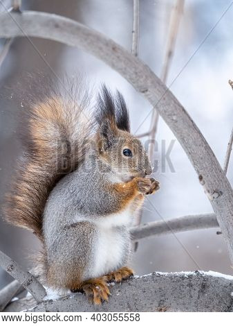 The Squirrel With Nut Sits On Tree In The Winter Or Late Autumn. Eurasian Red Squirrel, Sciurus Vulg