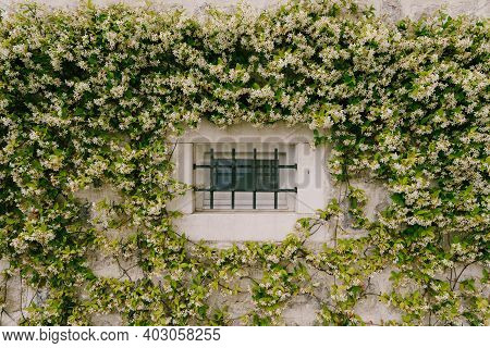 Jasmine Winds Up The Wall By A Small Window With A Metal Grill.