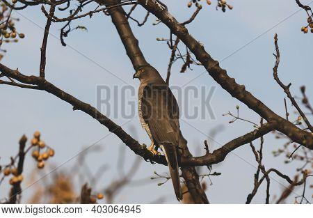 A Wild Hawk Raptor Sitting On A Branch Of A Tree