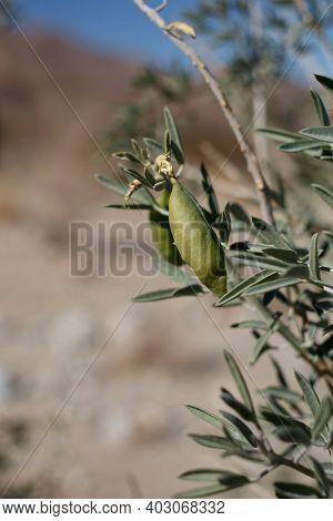 Green Immature Dehiscent Capsule Fruit Of Bladderpod, Peritoma Arborea, Cleomaceae, Native Perennial