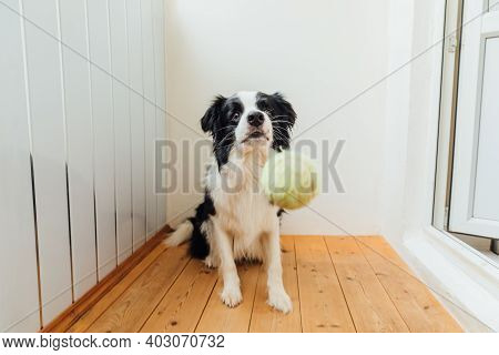 Funny Portrait Of Cute Smiling Puppy Dog Border Collie Holding Toy Ball In Mouth. New Lovely Member