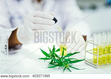 Scientist In Laboratory Testing Cbd Oil Extracted From A Marijuana Plant.  Healthcare Pharmacy From