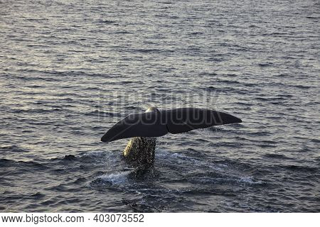 Vesteralen Islands / Norway - August 31, 2017: Fluke Of A Sperm Whale (physeter Catodon Or Physeter