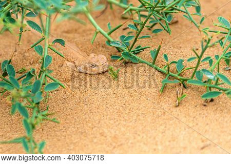 Spotted Toad-headed Agama Buried Hiding In Steppe Sand