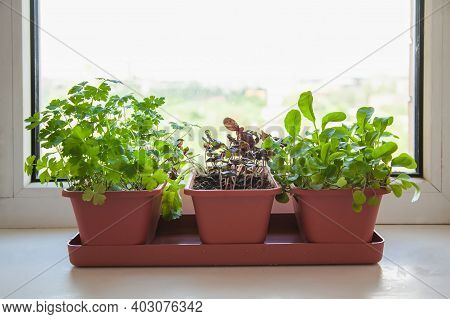 Growing Herbs On The Windowsill. Young Sprouts Of Parsley, Arugula And Lilac Basil In A Pot On A Whi