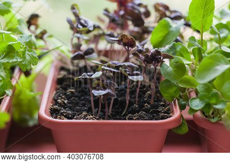Growing Herbs On The Windowsill. Young Sprouts Of Lilac Basil, Parsley And Arugula In A Pot On A Whi