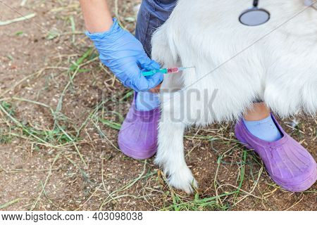 Young Veterinarian Woman With Syringe Holding And Injecting Goat Kid On Ranch Background. Young Goat